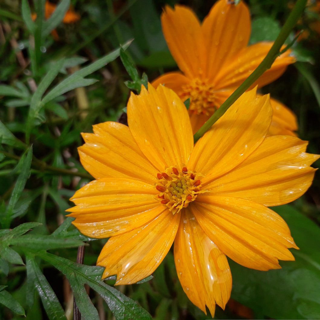 Tickseed - coreopsis