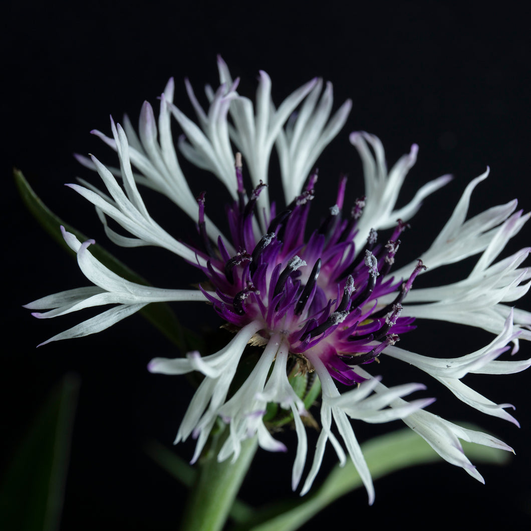 Bachelor Button ('Amethyst in Snow') - centaurea
