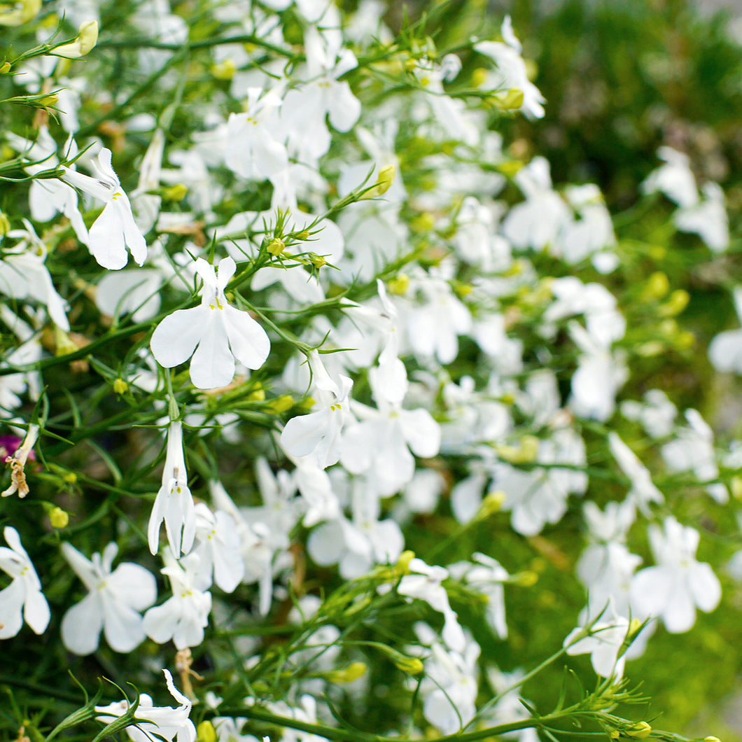 Lobelia ('white star') - 4