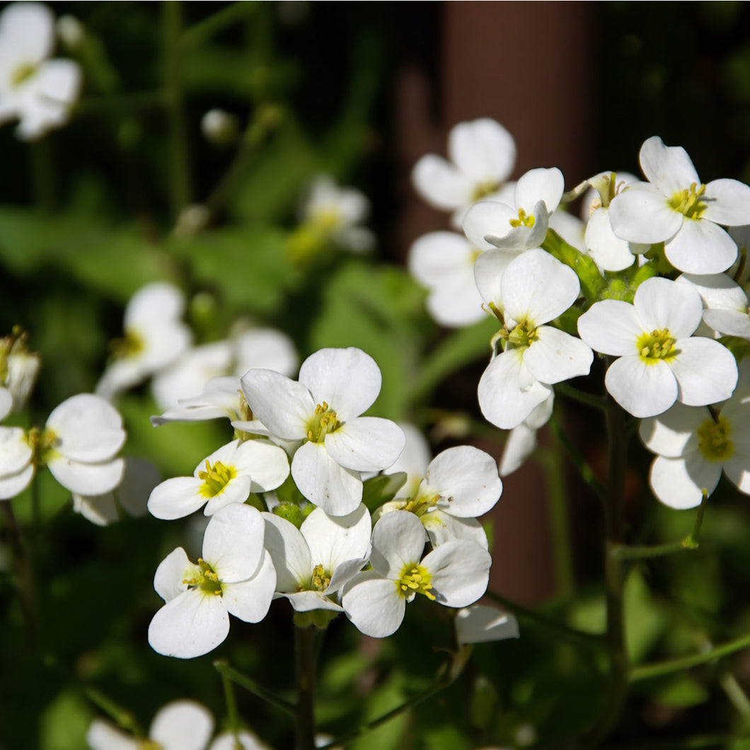 Rock Cress ('Little Treasure White') - arabis blepharophylla