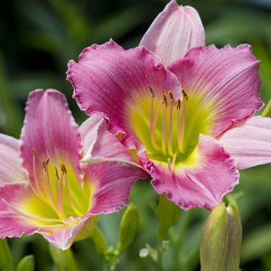 Hemerocalis (Day Lily) - various colours