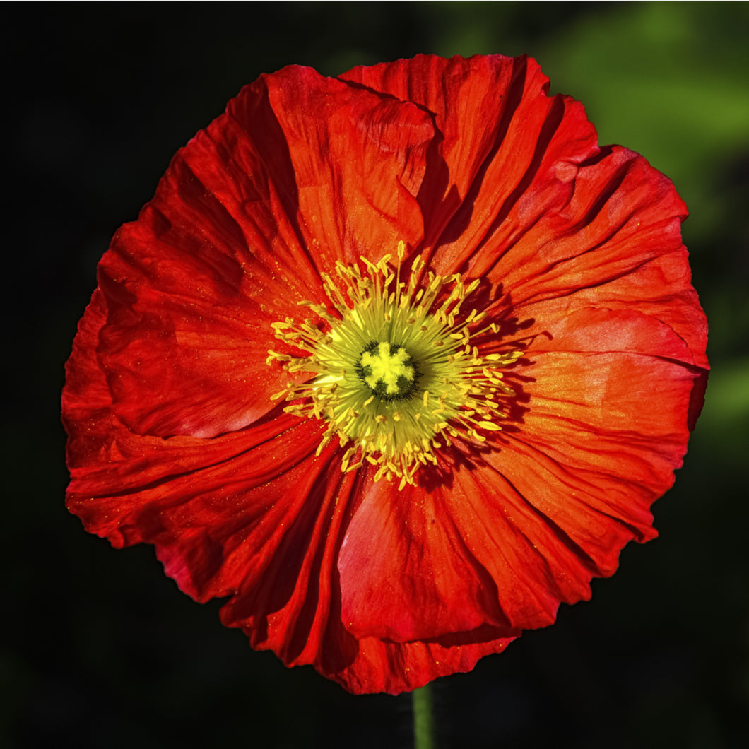 Poppy (Iceland - 'Spring Fever Red') - papaver nudicaule