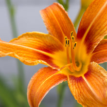 Load image into Gallery viewer, Asiatic Lilies - various colours