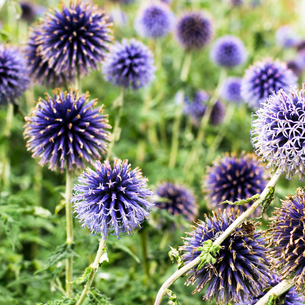 Globe Thistle - echinops species