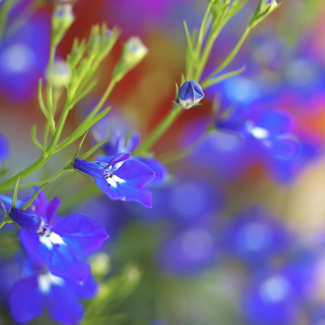 Lobelia ('big blue') - 4