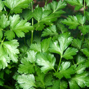 Plain Italian Parsley