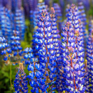 Lupine ('Mini Gallery Blue Bicolour) - lupinus polyphyllus