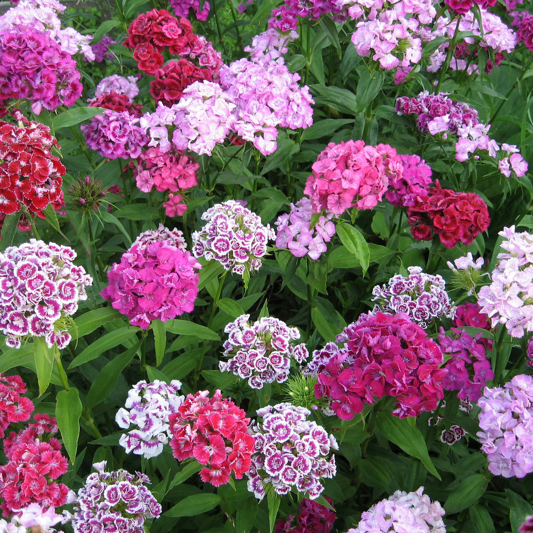 Sweet William (Tall Double Mix) - dianthus barbatus