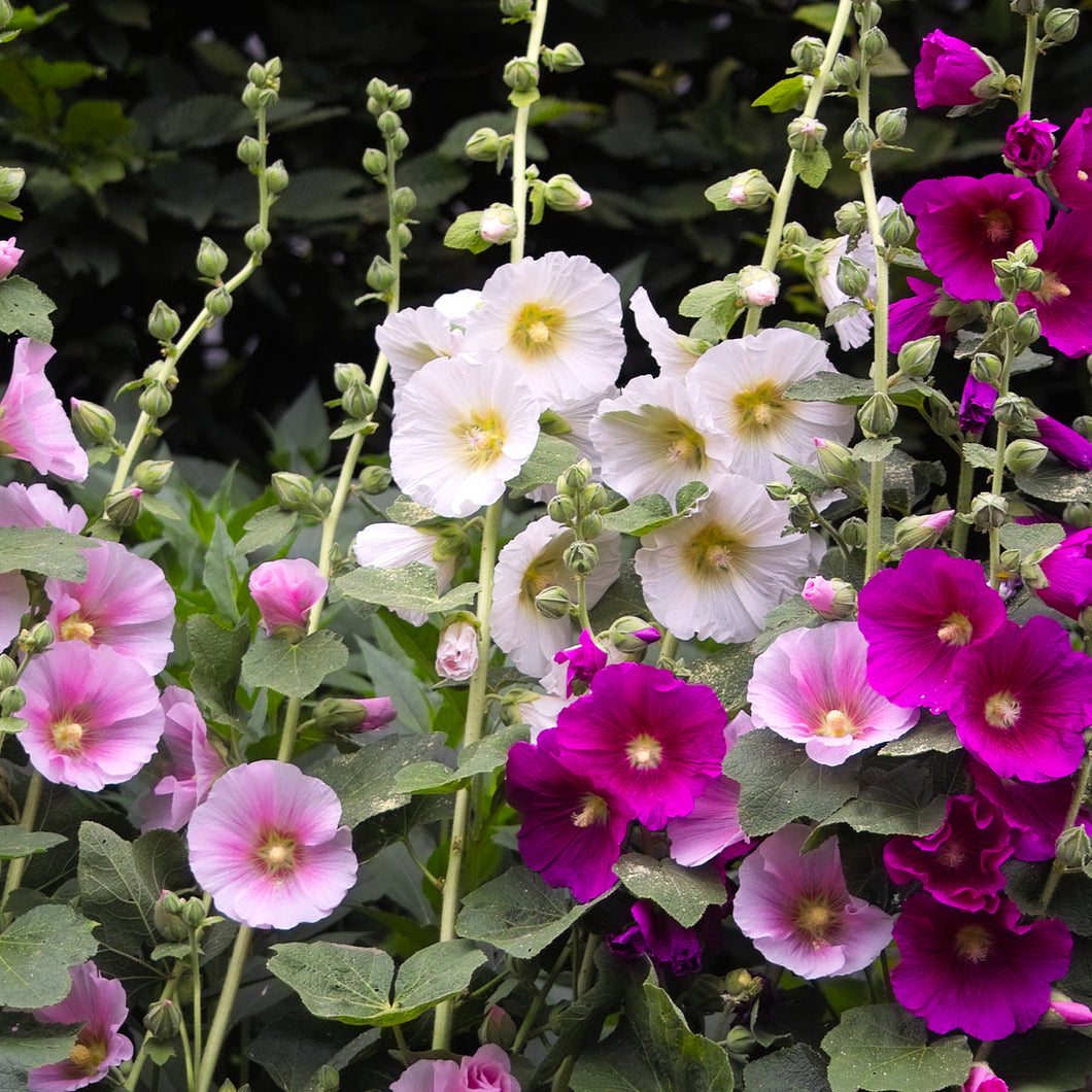 Hollyhock ('Chater's Double Mix') - alcea rosea