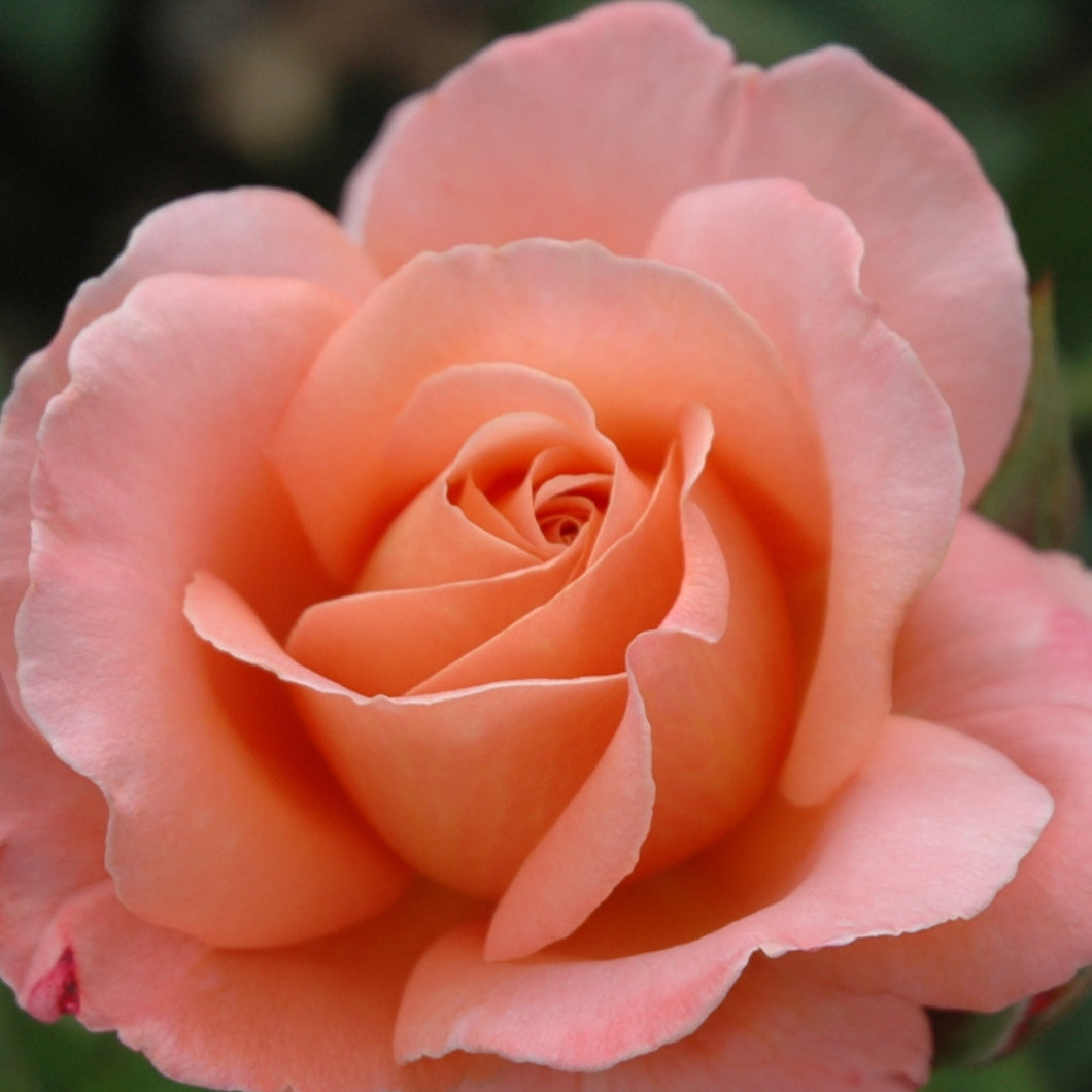 Floribunda - Little Darling (Salmon Pink)
