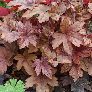 Coral Bells ('Sweet Tea') - heuchera