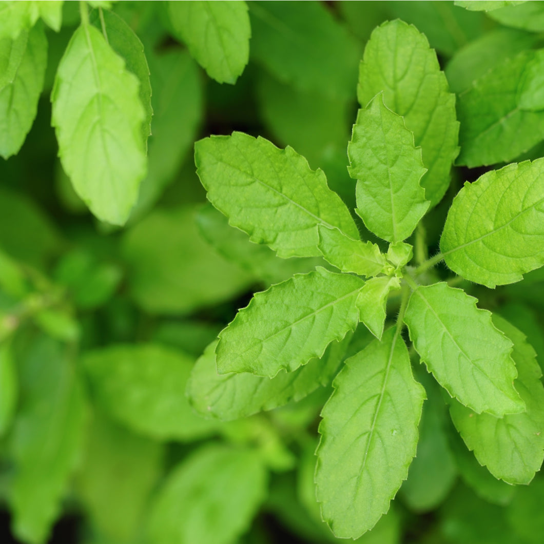 Tulsi - Holy Basil - Coming Soon
