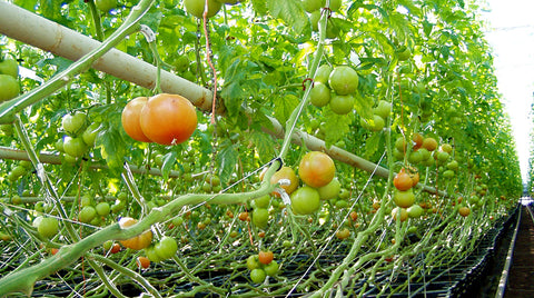 rows of tomatoes in autopots
