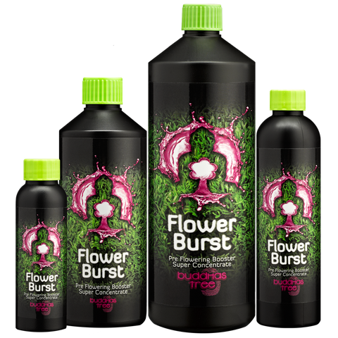 Buddhas Tree - Flower Burst - NPK Technology Hydroponics