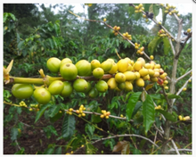 Load image into Gallery viewer, DECAF PAPUA NEW GUINEA ORGANIC SIANE CHIMBU
