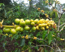 Load image into Gallery viewer, Papua New Guinea Organic Siane Chimbu A/X