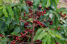 Load image into Gallery viewer, HONDURAS ORGANIC OCOTEPEQUE ROYAL SELECT WATER DECAF