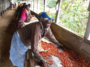 KENYA FT RIFT VALLEY KABNGETUNY WOMAN'S COFFEE