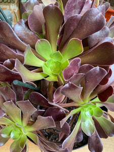 Aeonium arboreum Velours - *Local Delivery or Local Pick Up Only*