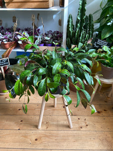 Aeschynanthus Marmoratus -*Local Delivery or Local Pick Up Only*