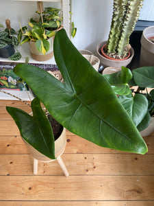 Alocasia zebrina 17cm Pot -*Local Delivery or Local Pick Up Only*