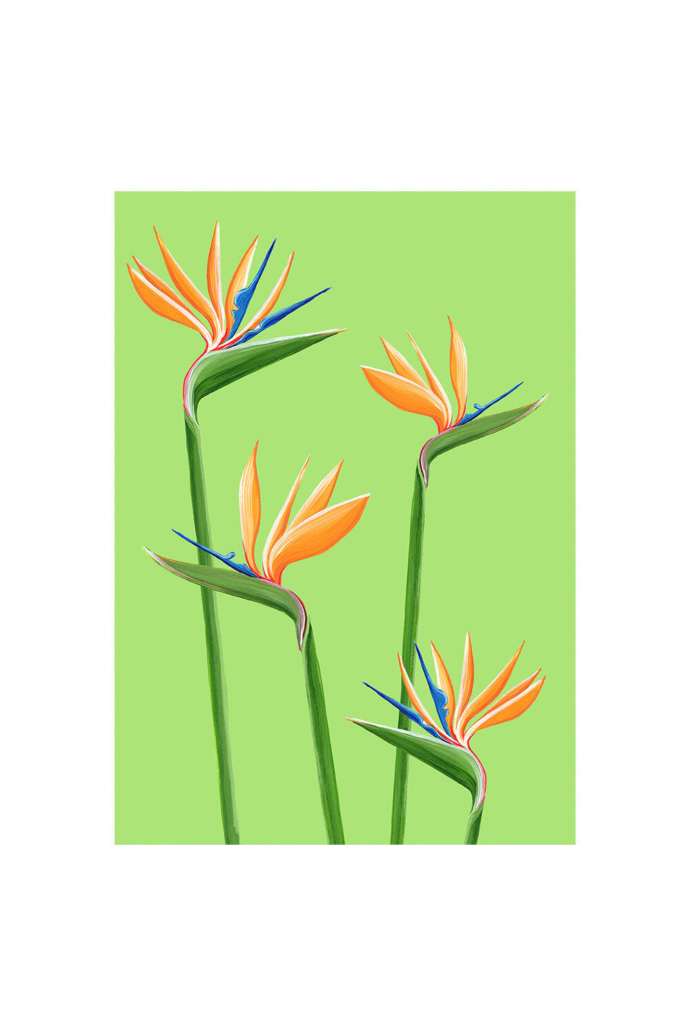 Stengun Drawings Birds Of Paradise Card