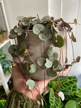 Load image into Gallery viewer, Ceropegia woodii 11cm Pot - String of Hearts