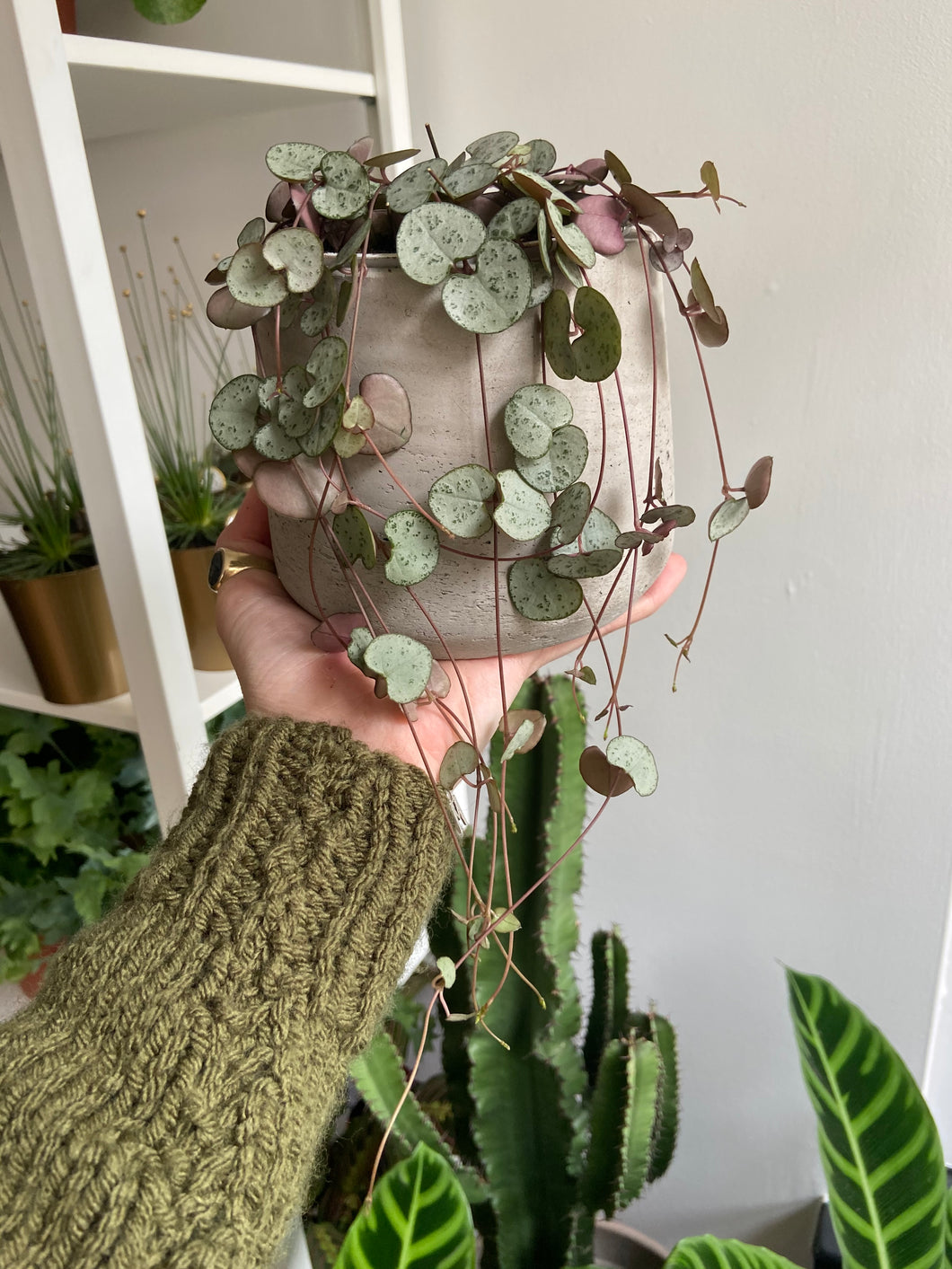 Ceropegia woodii 11cm Pot - String of Hearts