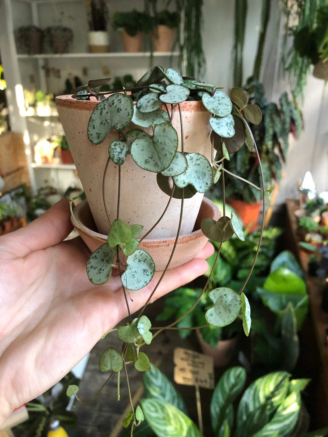 Ceropegia woodii 8cm Pot - String of Hearts