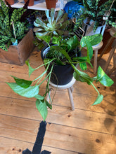 Load image into Gallery viewer, Epipremnum aureum 17cm Pot - *Local Delivery or Local Pick Up Only*
