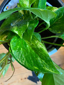 Epipremnum aureum 17cm Pot - *Local Delivery or Local Pick Up Only*