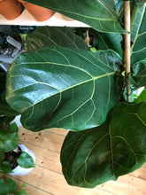 Load image into Gallery viewer, Ficus lyrata 21cm Pot - *Local Delivery or Local Pick Up Only*