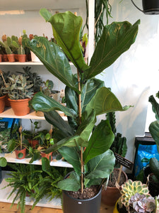 Ficus lyrata 21cm Pot - *Local Delivery or Local Pick Up Only*