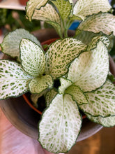 Load image into Gallery viewer, Fittonia Mix - Nerve Plant