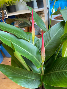 Heliconia psittacorum Hawaii -  *Local Pick Up Only*