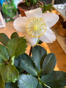Hellebores niger Happy Dream - *Local Delivery or Local Pick Up Only*