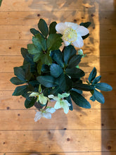 Load image into Gallery viewer, Hellebores niger Happy Dream - *Local Delivery or Local Pick Up Only*