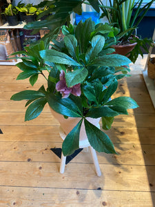 Hellebores orientalist Victoria - *Local Delivery or Local Pick Up Only*