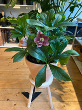 Load image into Gallery viewer, Hellebores orientalist Victoria - *Local Delivery or Local Pick Up Only*