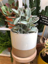 Load image into Gallery viewer, Kalanchoe tomentosa - *Local Pick Up Only*