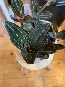 Ludisia discolor Ruby - Jewel Orchid