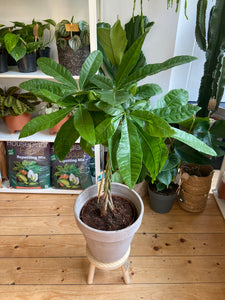 Pachira aquatica 21cm Pot - *Local Delivery or Local Pick Up Only*