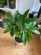 Load image into Gallery viewer, Pachira aquatica 21cm Pot - *Local Delivery or Local Pick Up Only*