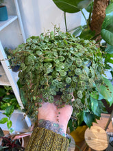 Load image into Gallery viewer, Peperomia prostrata XL - String Of Turtles