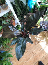 Load image into Gallery viewer, Philodendron Imperial Red - *Local Pick Up Only*