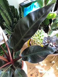 Philodendron Imperial Red - *Local Pick Up Only*