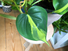 Load image into Gallery viewer, Philodendron scandens Brasil - Sweetheart Plant