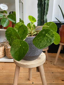Pilea peperomioides Mojito - Variegated Chinese Money Plant