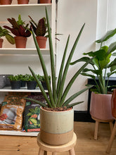Load image into Gallery viewer, Sansevieria cylindrica Handshake - *Local Delivery Or Pick Up Only *