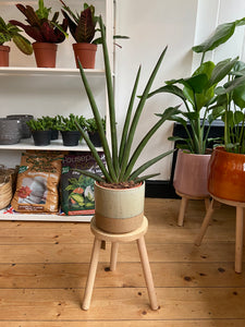 Sansevieria cylindrica Handshake - *Local Delivery Or Pick Up Only *